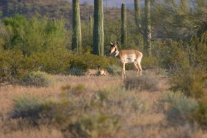 Sonoran-Pronghorn